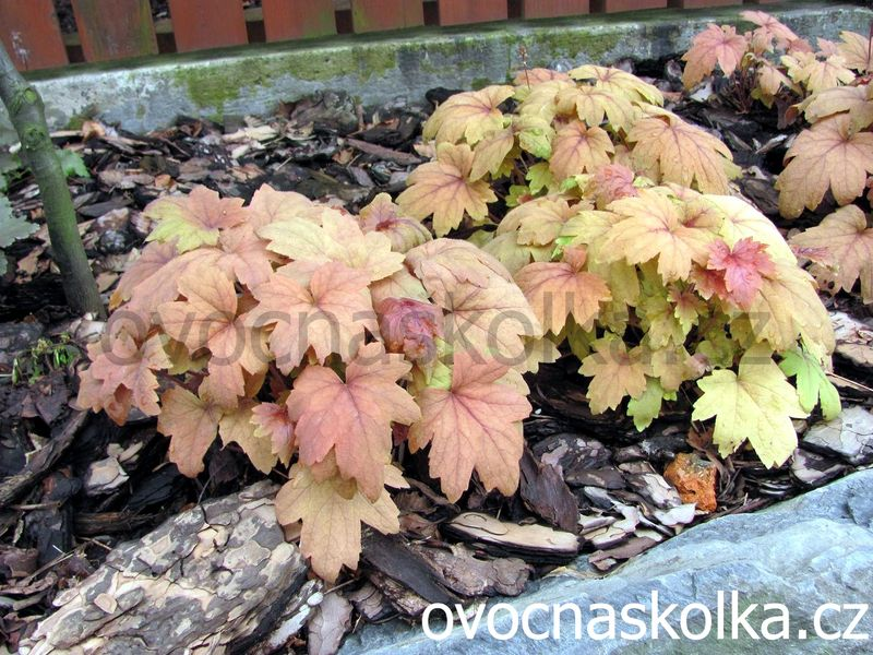 Heucherella  ´Sweet Tea´