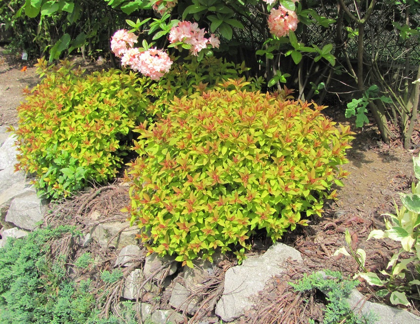 "Spiraea japonica ""Goldflame"""