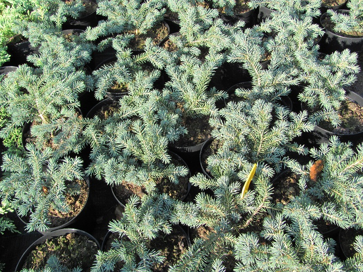 Picea pungens 'Sonia'