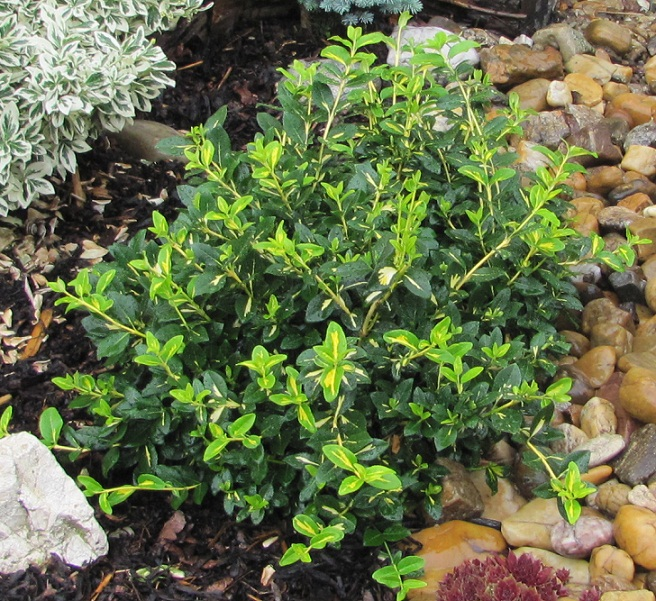 Euonymus fortunei 'Sunspot'