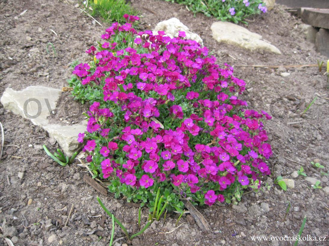 Aubrieta hybrida 'Red Carpet´