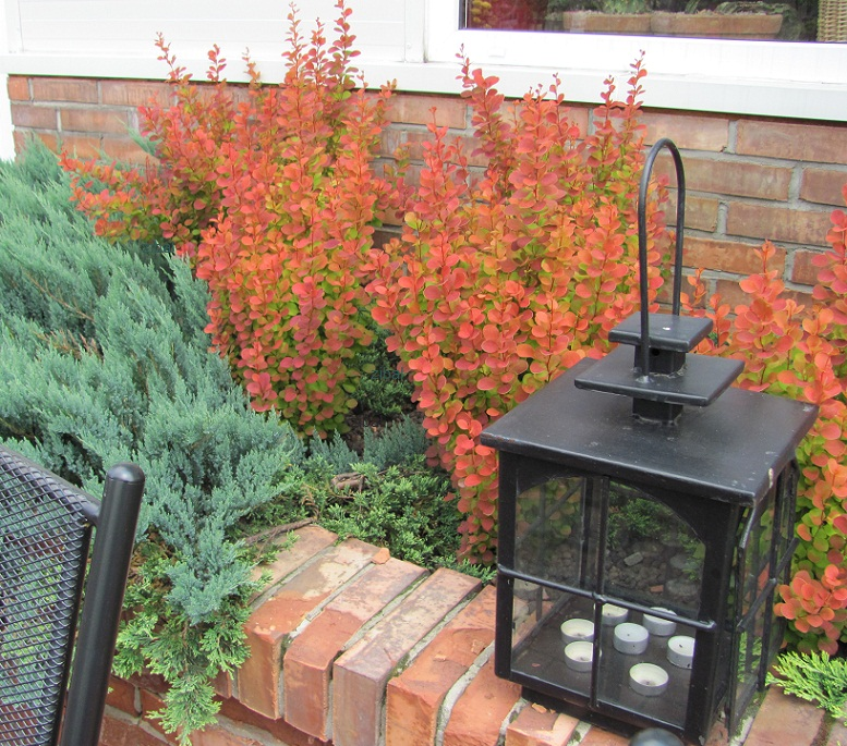 Berberis thunbergii 'Orange Pillar'