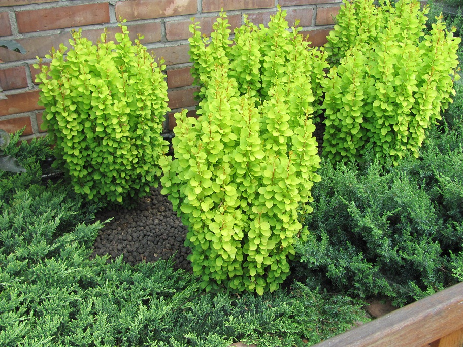 Berberis thunbergii 'Golden Tower'