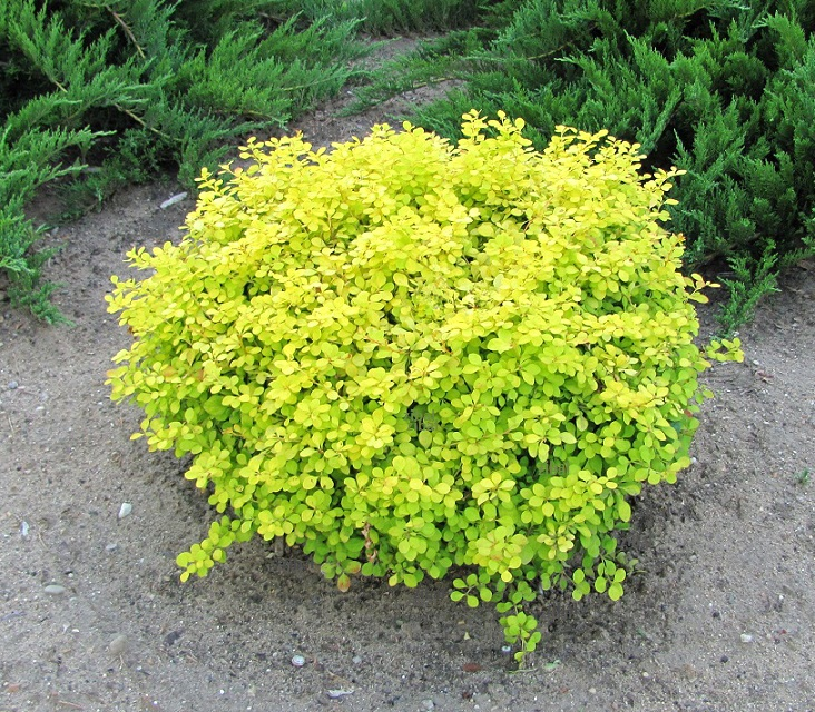 Berberis thunbergii 'Golden Zwerg'